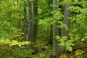 Hêtre à grandes feuilles (Fagus grandiflora)