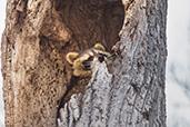 Raton arbre
