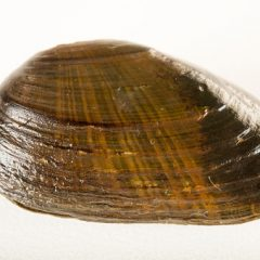 Rubber of the future: when mussels inspire researchers