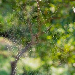 Araignée : des chercheurs ont réussi à rendre leur soie encore plus résistante grâce à du graphène