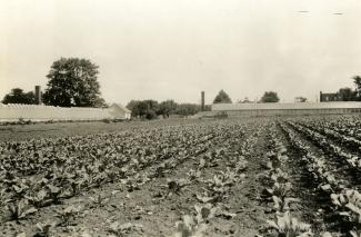 Photographie en noir et blanc d'un champ de choux avec à l'arrière-plan des serres.