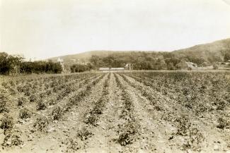 Photographie en noir et blanc représentant un champ de tomates avec à l'arrière-plan des bâtiments et le mont Royal.