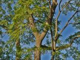 Vue générale de l'arbre. Phellodendron de l'Amour. L'Oratoire Saint-Joseph du Mont-Royal.