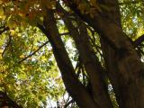 Vue de l'intérieur de la cime. Marronnier à fleurs jaunes. Université McGill.