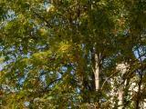 Vue générale de l'arbre. Marronnier à fleurs jaunes. Université McGill.
