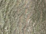 Vue de l'écorce. Phellodendron de l'Amour. Parc du Mont-Royal.