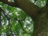 Vue de la cime. Cerisier tardif. Parc du Mont-Royal.