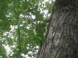 Vue de la cime. Érable argenté. Parc du Mont-Royal.