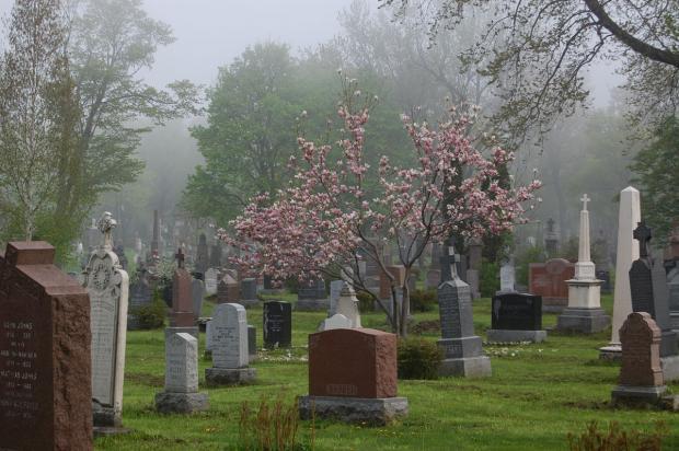 Magnolia en fleurs au cimetière Notre-Dame-des-Neiges. Photographie.