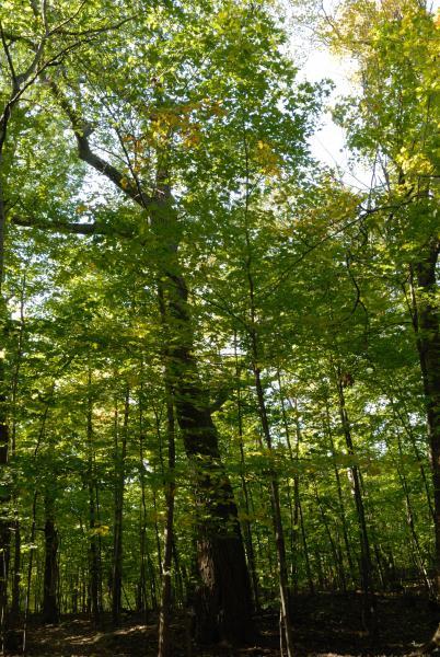 Vue générale de l'arbre. Chêne rouge, Bois Summit