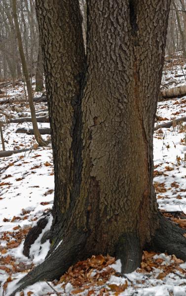 Vue de la section inférieure du tronc. Cerisier tardif. Bois Summit.