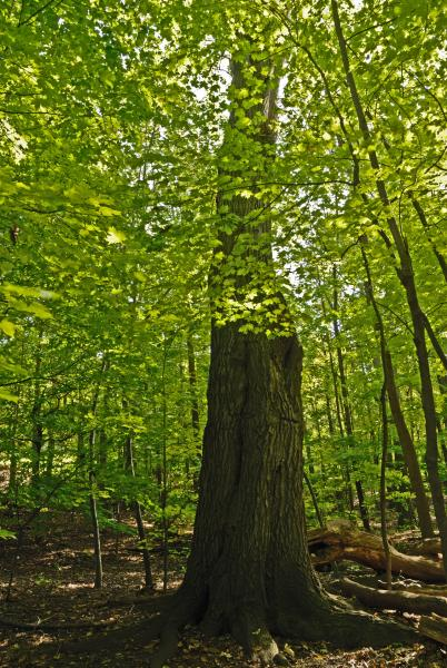 Vue générale de l'arbre. Chêne rouge. Bois Summit.
