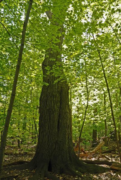 Vue de la base de l'arbre. Chêne rouge. Bois Summit.