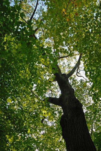 Vue générale de la cime de l'arbre. Chêne rouge. Bois Summit.