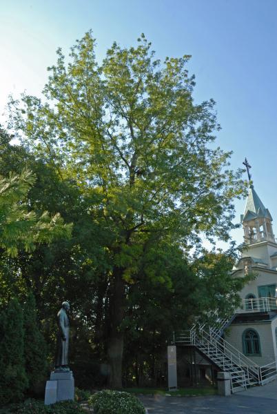 Vue générale de l'arbre. Caryer cordiforme. L'Oratoire Saint-Joseph du Mont-Royal, chapelle du frère André.