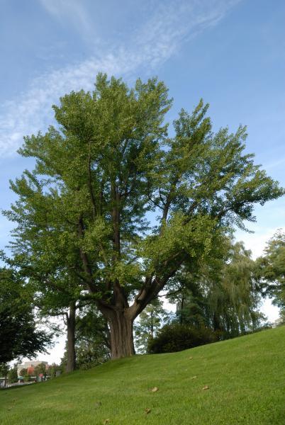 Vue générale de l'arbre. Ginkgo bilobé. L'Oratoire Saint-Joseph du Mont-Royal.
