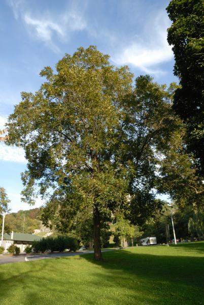 Vue générale de l'arbre. Caryer lacinié. Oratoire Saint-Joseph-du-Mont--Royal.