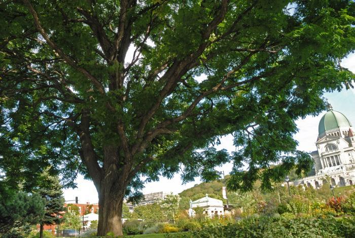 Vue générale de la partie inférieure de l'arbre. Chicot févier. Collège Notre-Dame.