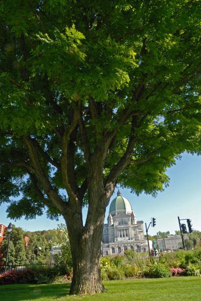 Vue générale de la section inférieure de l'arbre. Chicot févier. Collège Notre-Dame.