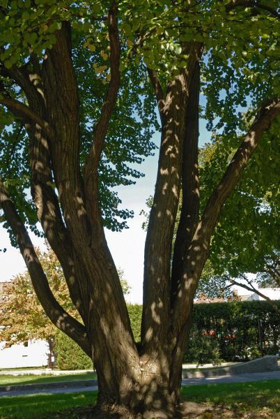 Vue générale des troncs. Arbre de Katsura. Collège Notre-Dame.