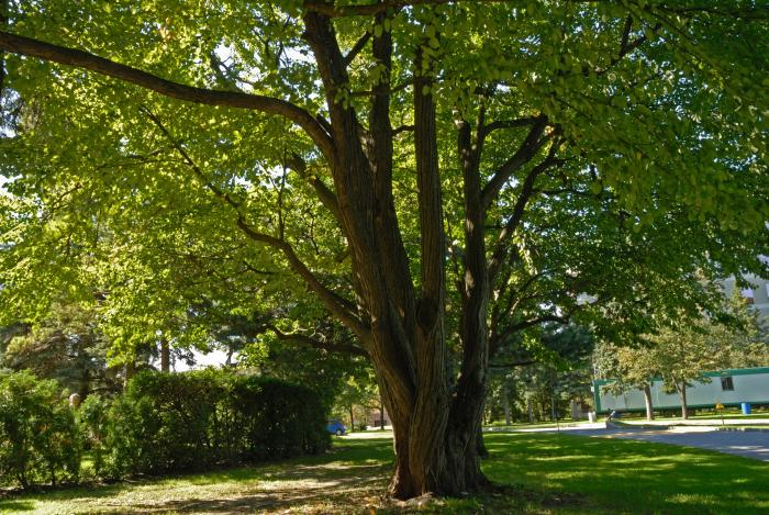 Vue générale de la section inférieure de l'arbre. Arbre de Katsura. Collège Notre-Dame.