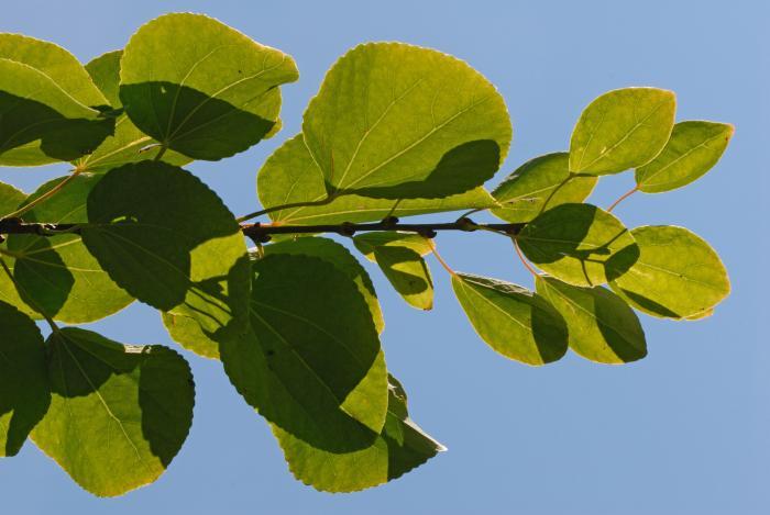 Vue des feuilles. Arbre de Katsura. Collège Notre-Dame.