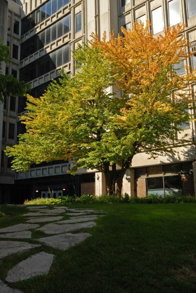 Vue générale de l'arbre. Arbre de Katsura. Université McGill.