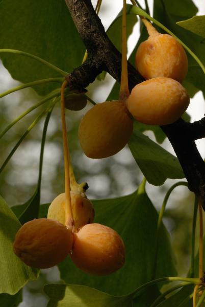Fruits du gingko bilobé. Arbre aux quarante écus. Université McGill.