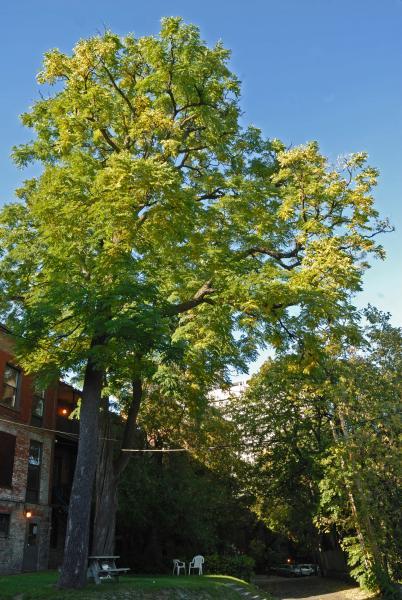 Vue générale de l'arbre. Chicot févier. Université McGill.