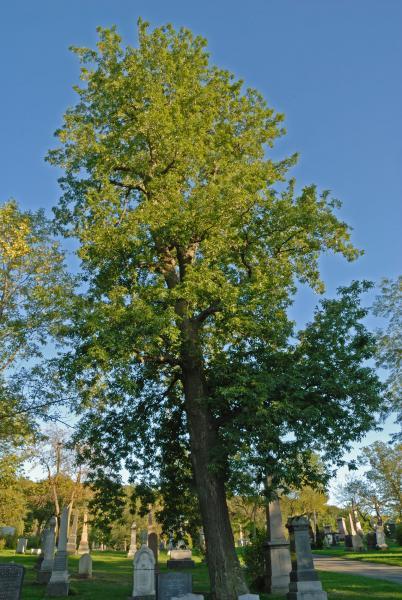 Vue générale de l'arbre. Caryer cordiforme. Cimetière Mont-Royal.