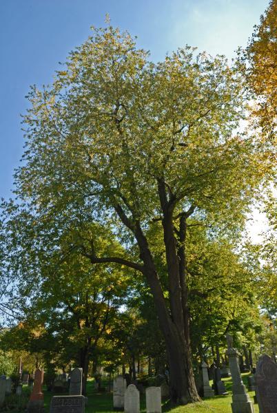 Vue générale de l'arbre. Cerisier tardif. Cimetière Mont-Royal.