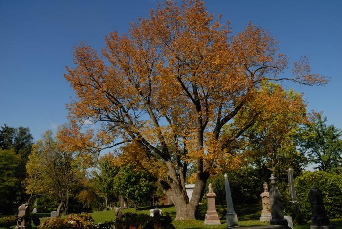 Vue générale de l'arbre. Frêne blanc. Cimetière Mont-Royal.