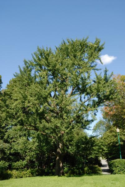 Vue générale de l'arbre. Arbre aux quarante écus. Cimetière Mont-Royal.