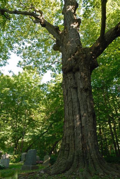 Vue du tronc. Érable à sucre. Cimetière Mont-Royal.