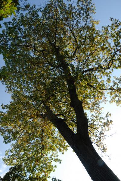 Vue de la cime. Chêne rouge. Cimetière Mont-Royal.