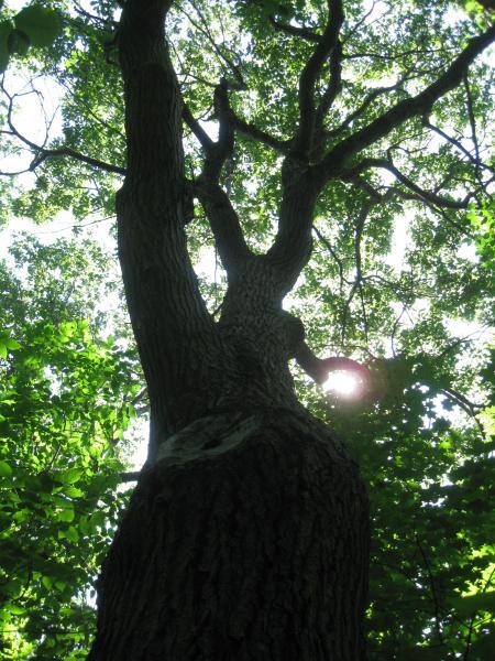 Vue générale de la cime. Chêne rouge. Parc du Mont-Royal.