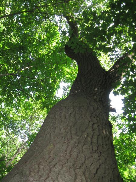Vue de la cime. Chêne rouge. Parc du Mont-Royal.