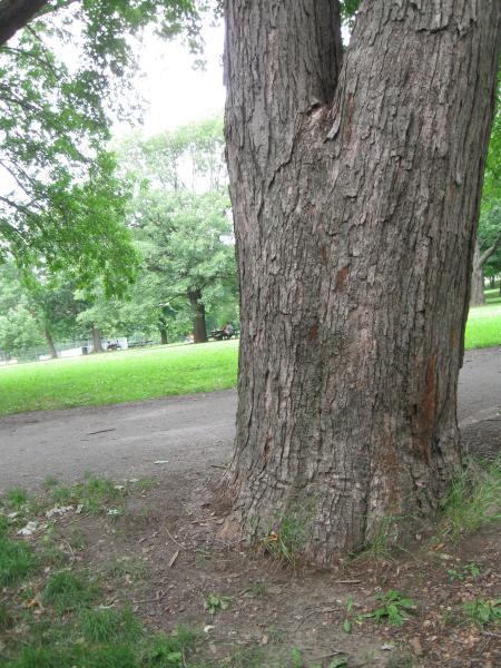 Vue du tronc. Érable argenté. Parc du Mont-Royal.