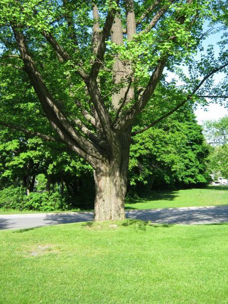 Vue de la section inférieure de l'arbre. Ginkgo bilobé. L'Oratoire Saint-Joseph du Mont-Royal.