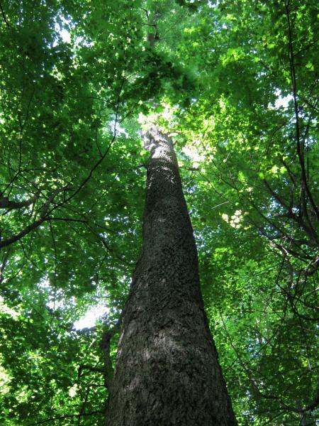 Vue en élévation du tronc. Caryer cordiforme. Parc du Mont-Royal.