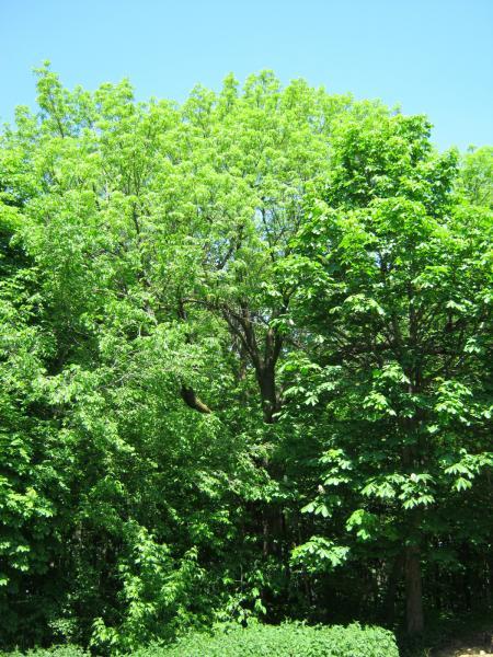 Vue générale de l'arbre. Frêne d'Europe. Collège Jean-de-Brébeuf.