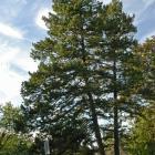 Vue générale des deux arbres. Sapin de Douglas. Oratoire Saint-Joseph-du-Mont-Royal.
