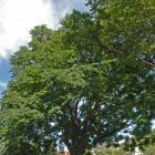 Vue générale de l'arbre. Chicot févier. Collège Notre-Dame.