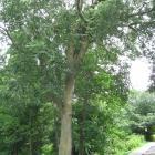 Vue générale de l'arbre. Orme d'Amérique. Parc du Mont-Royal.