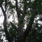 Vue de la cime. Peuplier deltoïde. Parc du Mont-Royal.