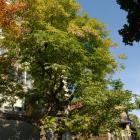 Vue générale de l'arbre. Virgilier à bois jaune. Université McGill.