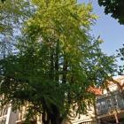 Vue générale de l'arbre. Arbre aux quarante écus. Université McGill.