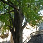 Vue de la section inférieure de l'arbre. Arbre aux quarante écus. Université McGill.