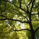 Vue de la partie inférieure de l'arbre. Noyer noir. Université McGill.
