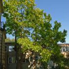 Vue générale de l'arbre. Catalpa de l'Ouest. Université McGill.